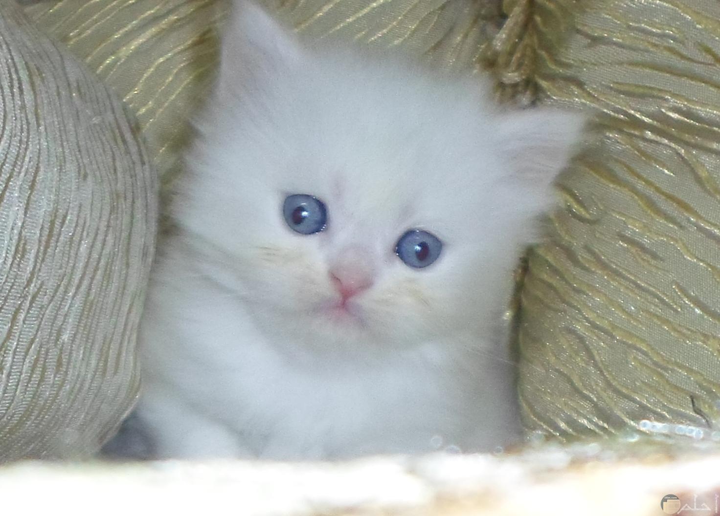 قط بعيون زرقاء
