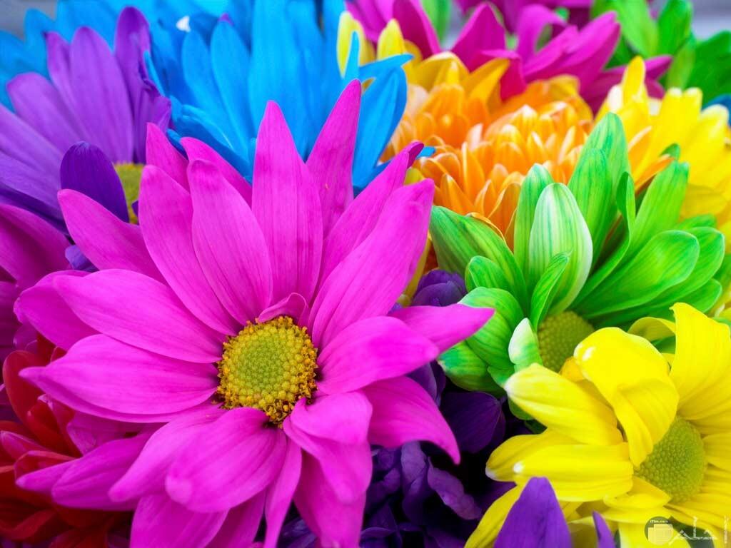 صورة جميلة ملونة للورد