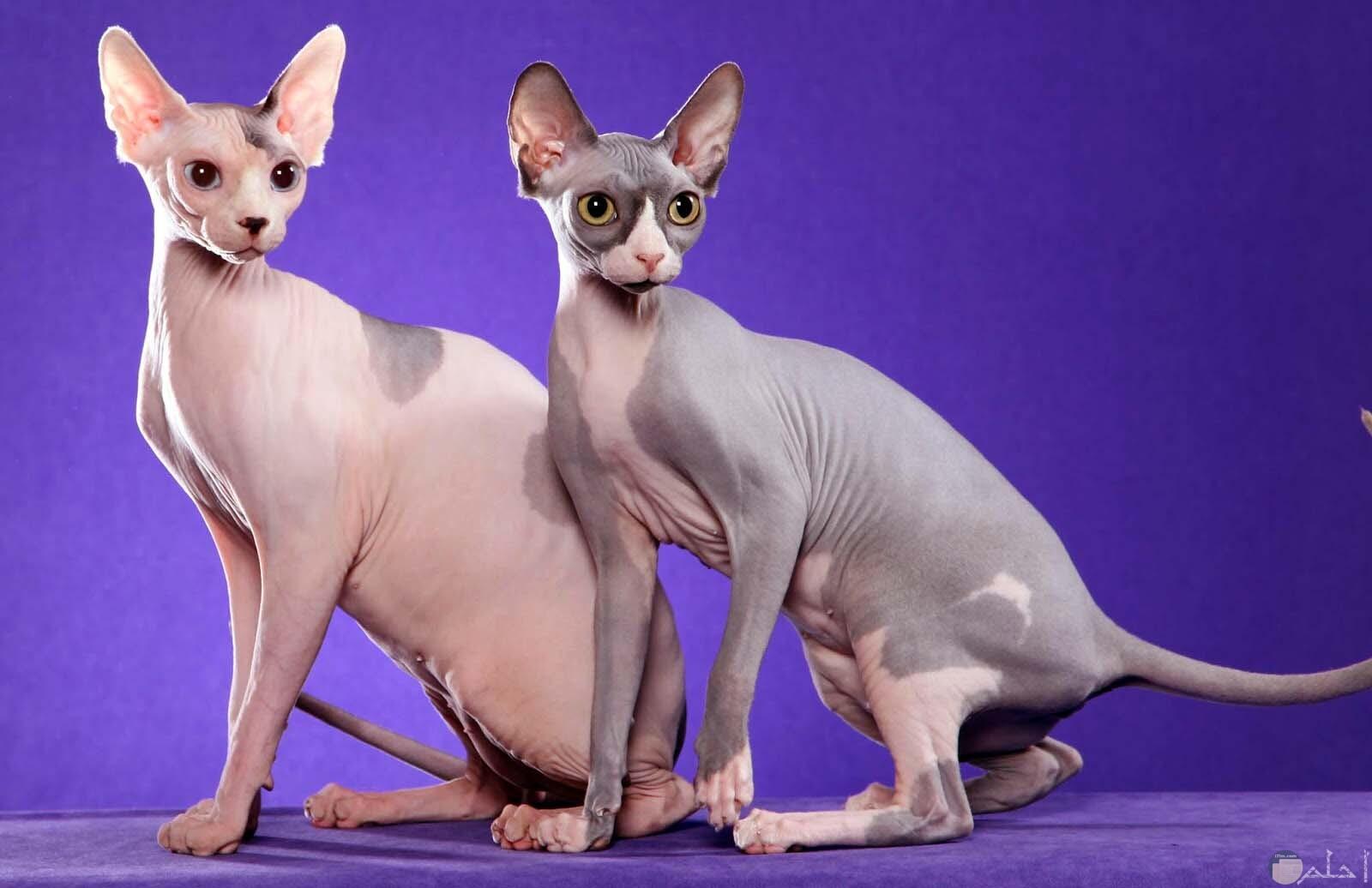 قطط فرعونية غريبة