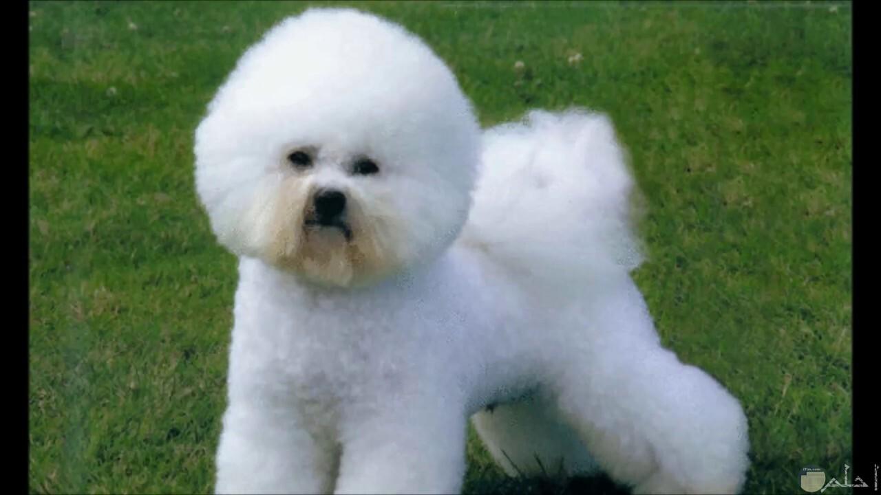 صورة كلب رومي و قصة شعره الجميلة.