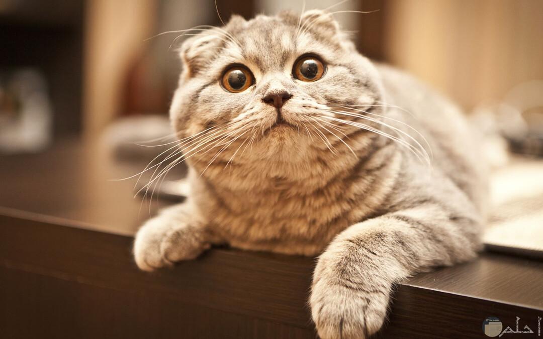 من اغرب انواع القطط