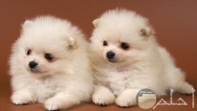 صورة كلبين رومي صغيرين.