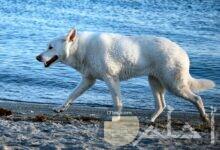 كلب بفروة بيضاء
