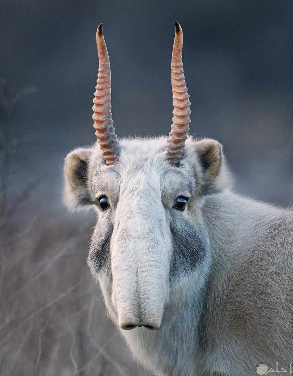 ظبي سيجا حيوان نادر الوجود