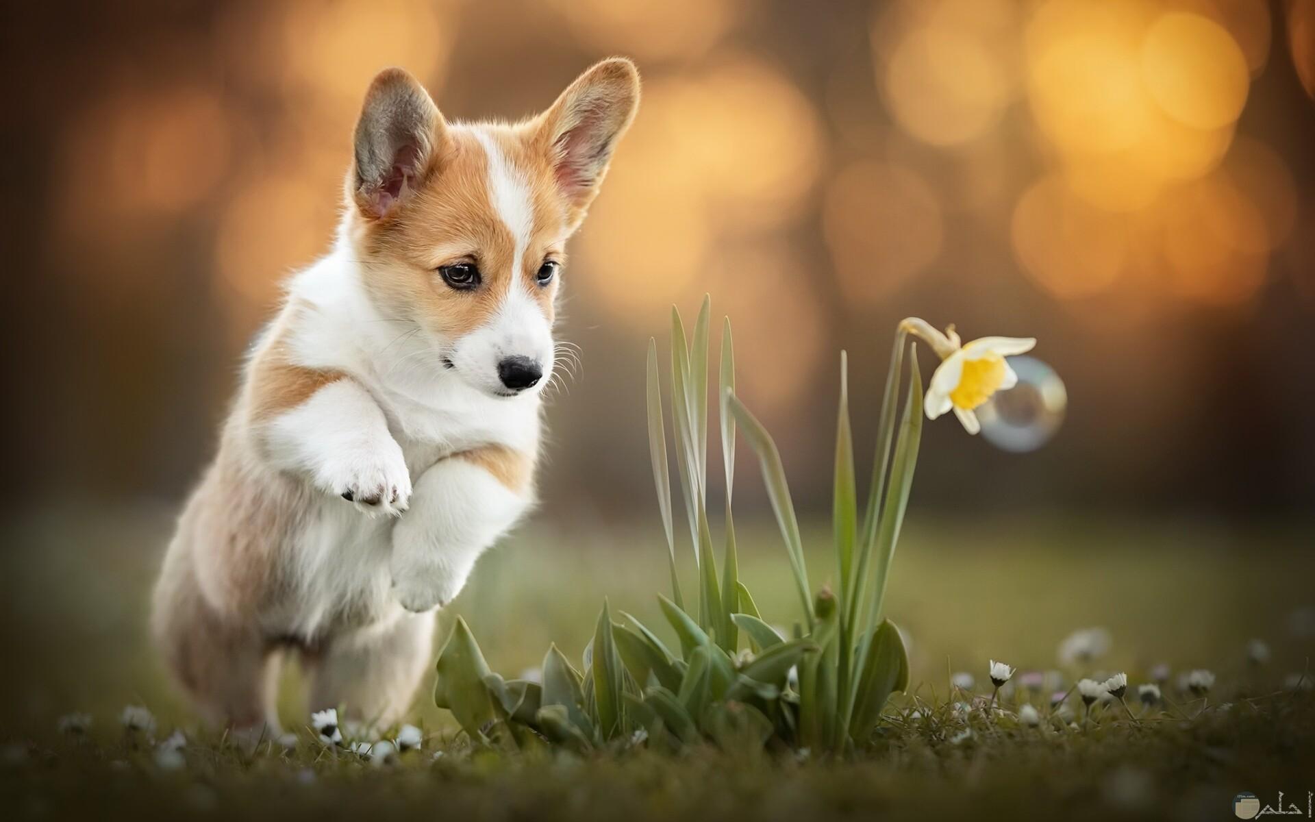 كلب كورجي جرو.