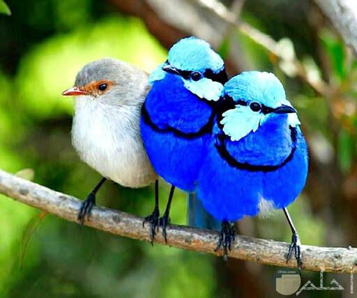 عصافير زرقاء ورمادي على غصن